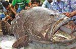 420 KG Grouper