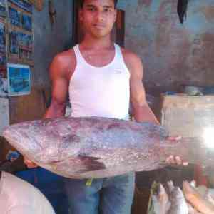 Grouper of the Bay of Bengal